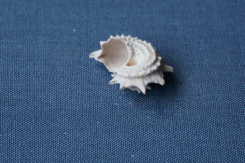 Turbinidae - † Delphinula Regleyi Deshayes, 1832 (GA 17-01) - Lutétien 01412
