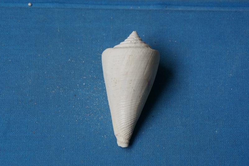 Conidae - † Conus deperditus, Bruguière 1792 01511