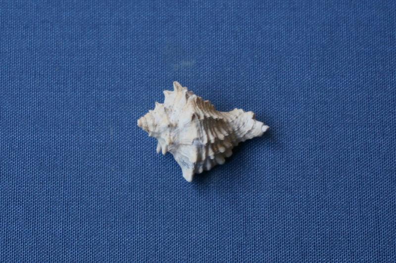 Mirucidae - † Crassimurex calcitrapa Lamarck, 1803 (GA 169-22) - Lutétien 01514