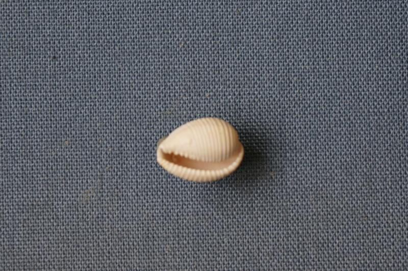 Cypraeidae - † Cypraedia (cypraedia) girauxi Cossmann & Pissarro, 1913 (GA 162-24) - Bartonien inf 01516