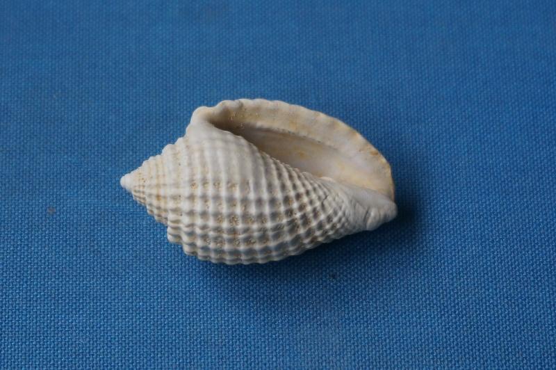 Volutidae - † Volutocorbis digitalina (Lamarck 1811) - Bartonien inf. (Bassin Parisien) 01610