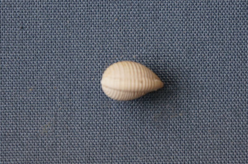 Cypraeidae - † Cypraedia (cypraedia) girauxi Cossmann & Pissarro, 1913 (GA 162-24) - Bartonien inf 01613
