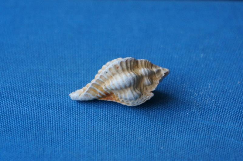 Muricidae - † Pterynotus micropterus Deshayes, 1835 GA 169-03 - Bartonien inf. & moy. (Bassin parisien) 01711