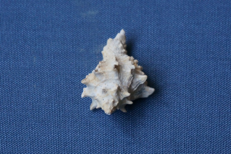Mirucidae - † Crassimurex calcitrapa Lamarck, 1803 (GA 169-22) - Lutétien 01715