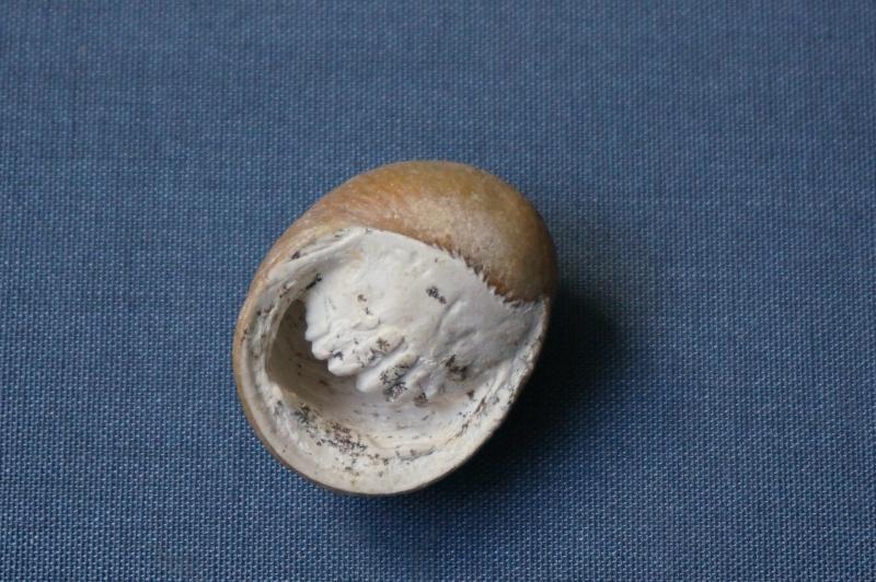 Neritidae - † Nerita angistoma Deshayes, 1825 - Bartonien inf. 01811