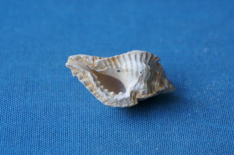 Muricidae - † Pterynotus micropterus Deshayes, 1835 GA 169-03 - Bartonien inf. & moy. (Bassin parisien) 01910