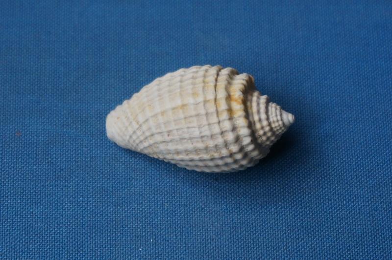 Volutidae - † Volutocorbis digitalina (Lamarck 1811) - Bartonien inf. (Bassin Parisien) 02010
