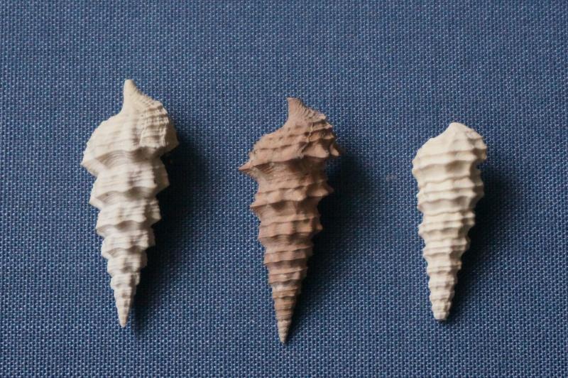 Batillariidae - † Vicinocerithium echidnoides (Lamarck, 1804) - Lutétien 02011
