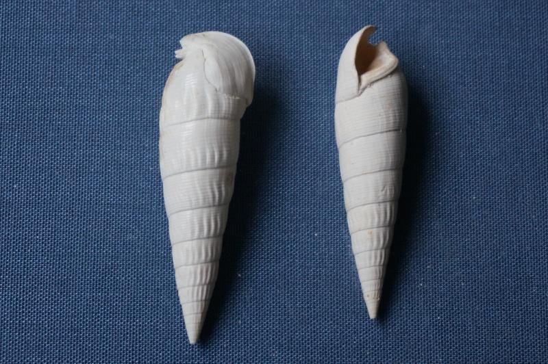 Cerithiidae - † Rhinoclavis striatus Bruguière, 1792 (GA 137 ter-1) - Lutétien et Bartonien 02012
