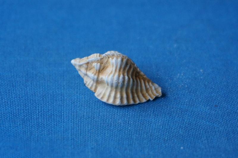 Muricidae - † Pterynotus micropterus Deshayes, 1835 GA 169-03 - Bartonien inf. & moy. (Bassin parisien) 02110