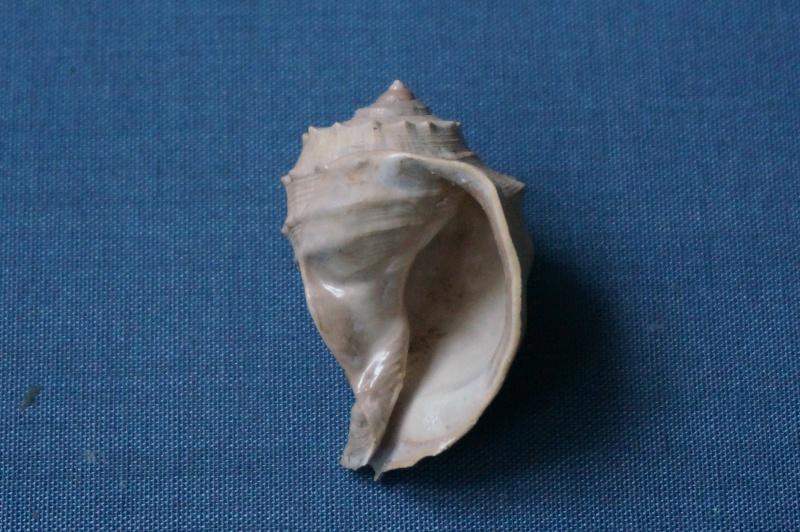 Cassidae - † Cassidaria retusa Deshayes, 1865 (GA 166-04) - Bartonien 02810