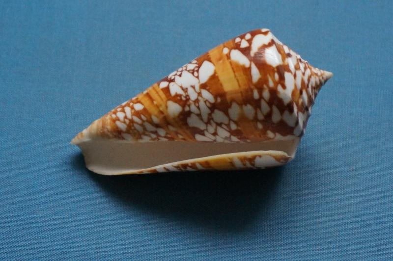 Conus (Leptoconus) castaneofasciatus  Dautzenberg, 1937 - Page 2 Conus_12