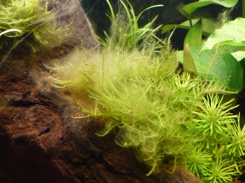 Algues envahissantes et diverses  P1000912