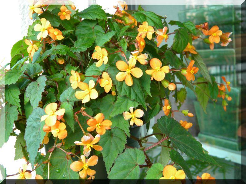 Begonia - Begonien 1_dscn25