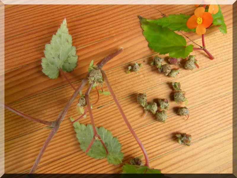 Begonia - Begonien 1_dscn26