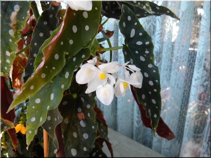 Begonia - Begonien - Seite 2 1_dscn27