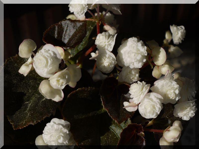 Begonia - Begonien - Seite 3 1_p10214