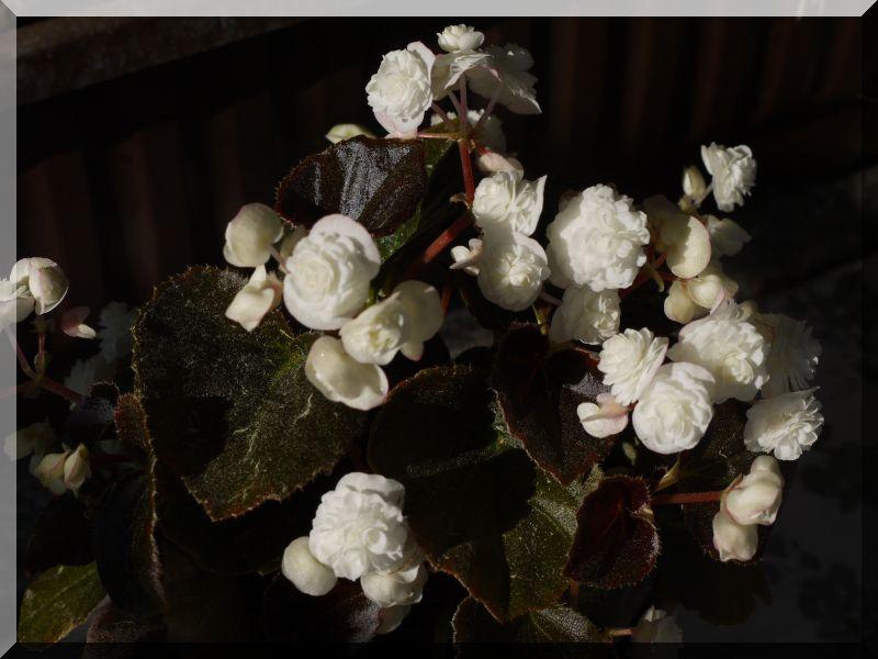Begonia - Begonien - Seite 3 1_p10215