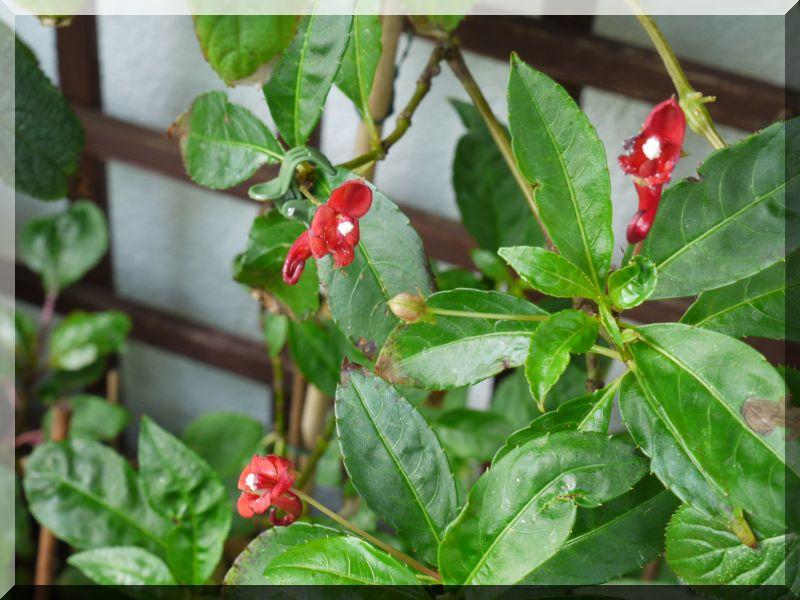 Gattung Impatiens  - Familie Balsaminaceae 1_p10311