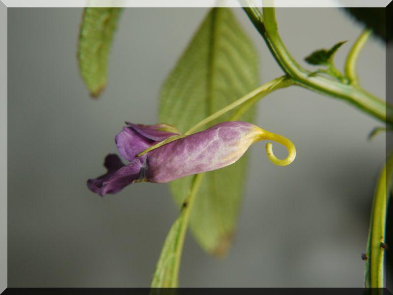 Gattung Impatiens  - Familie Balsaminaceae 1_p10314