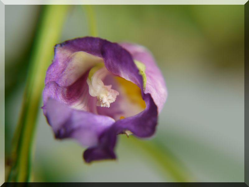 Gattung Impatiens  - Familie Balsaminaceae 1_p10316