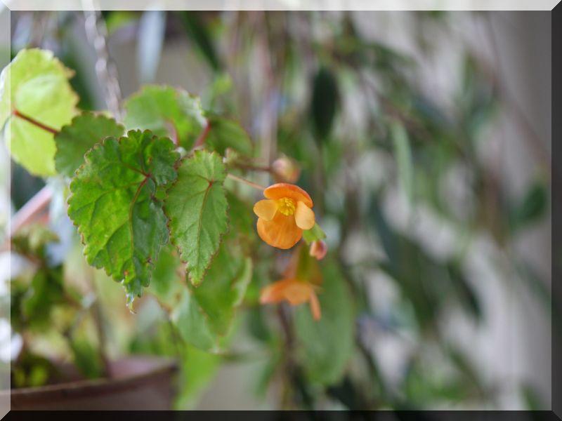 Begonia - Begonien 1_p10815
