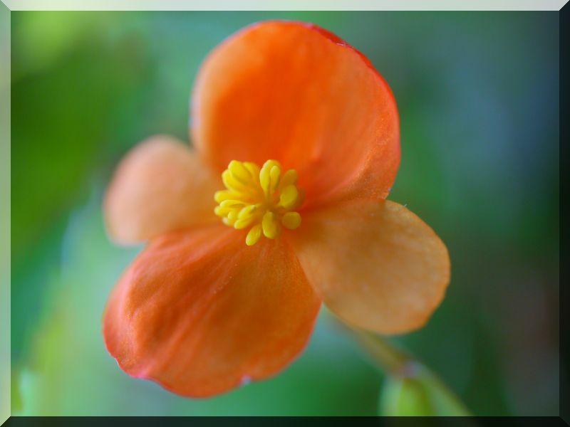 Begonia - Begonien 1_p10817