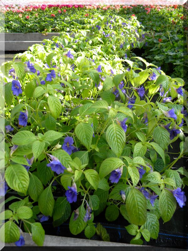 Gattung Impatiens  - Familie Balsaminaceae 2_dscn15