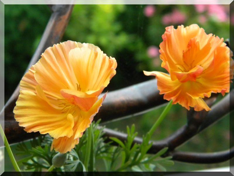 Begleitpflanzen der Kakteen in Haus und Garten - Seite 24 3_dscn11