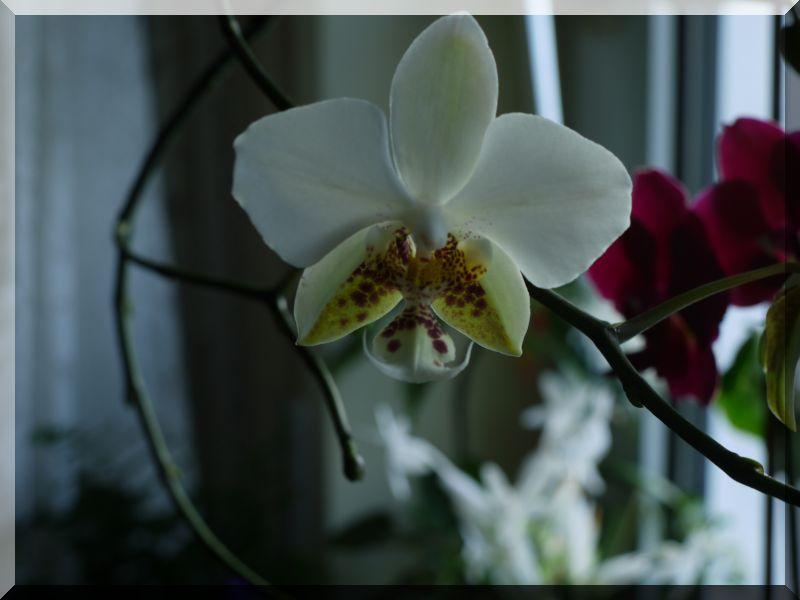 Orchideen 2 (fortlaufende Seiten 200 bis 300) P1040111