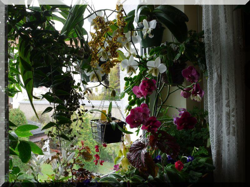 Orchideen 2 (fortlaufende Seiten 200 bis 300) P1040511