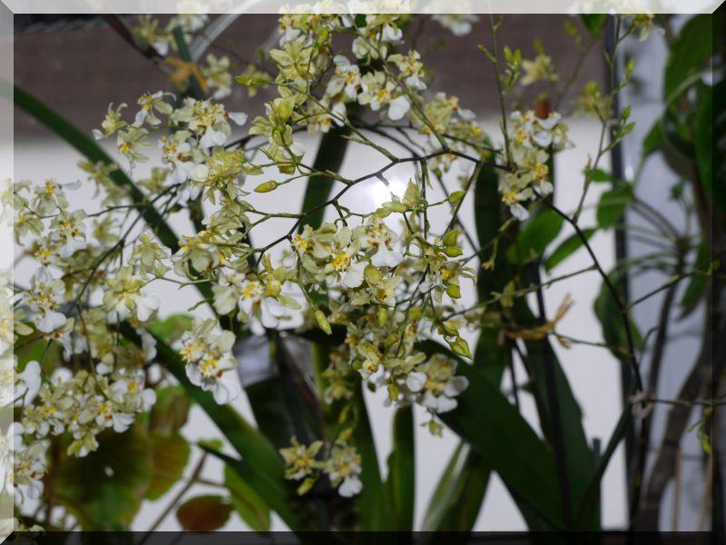 Orchideen 2 (fortlaufende Seiten 200 bis 300) P1050310