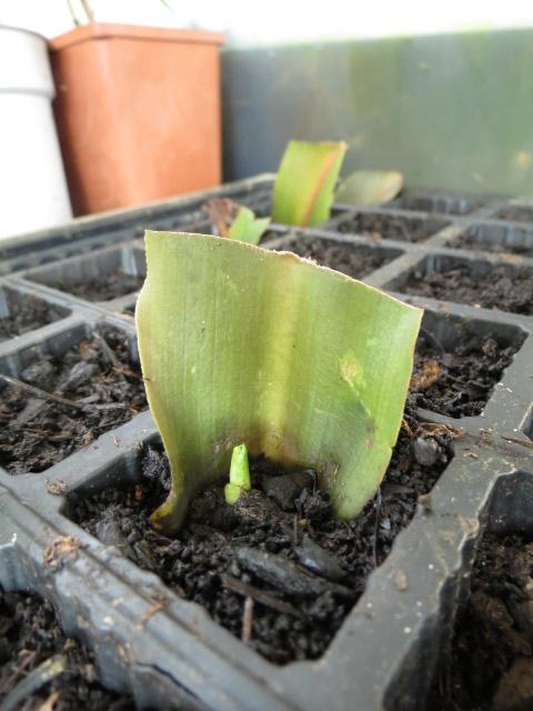 boutures de feuilles d eucomis Img_1320