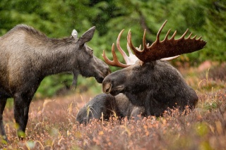 Sinapu Mountain  Moose_10