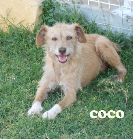 COCO, petite croisée violemment attaquée il y a un an ADOPTEE Unname20