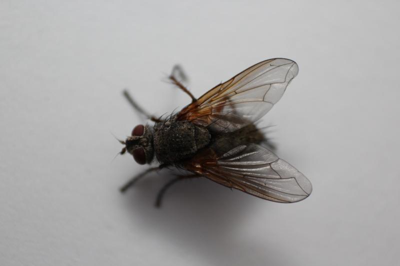 [Macquartia dispar] Puisque c'est la mode des mouches grises Img_9410