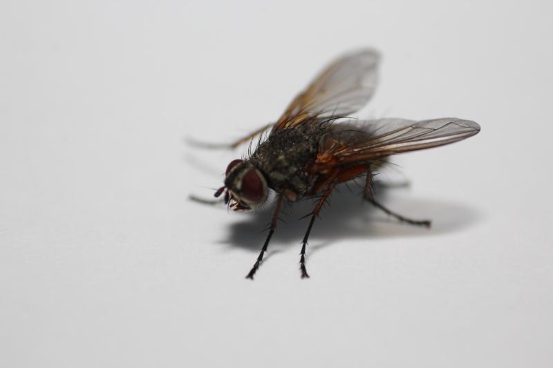 [Macquartia dispar] Puisque c'est la mode des mouches grises Img_9411