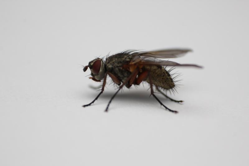 [Macquartia dispar] Puisque c'est la mode des mouches grises Img_9412
