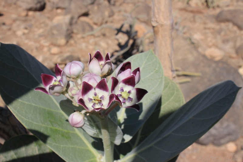 Calotropis procera - OMAN (Dhofar)   Img_0811
