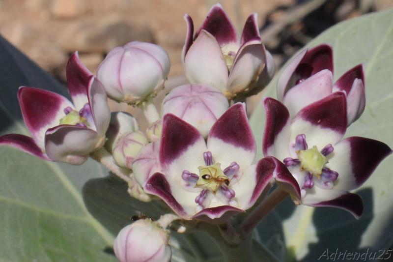 Calotropis procera - OMAN (Dhofar)   Img_0812
