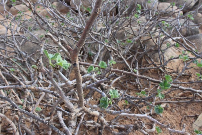 JATROPHA pelargonifolia v.sublobata  -  OMAN (Dhofar) Img_1113