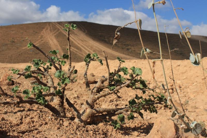 JATROPHA pelargonifolia v.sublobata  -  OMAN (Dhofar) Img_1114