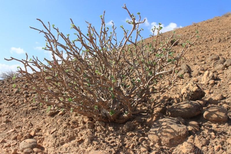 JATROPHA pelargonifolia v.sublobata  -  OMAN (Dhofar) Img_1115