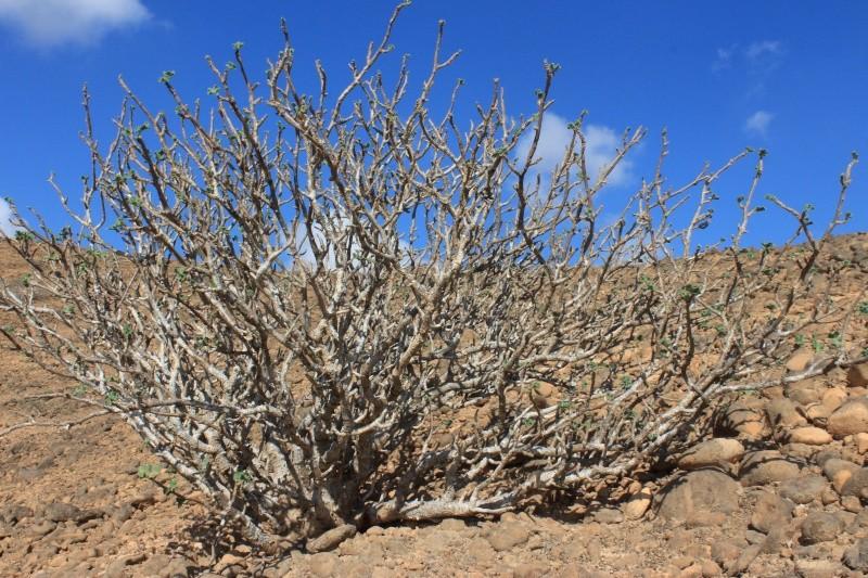 JATROPHA pelargonifolia v.sublobata  -  OMAN (Dhofar) Img_1117