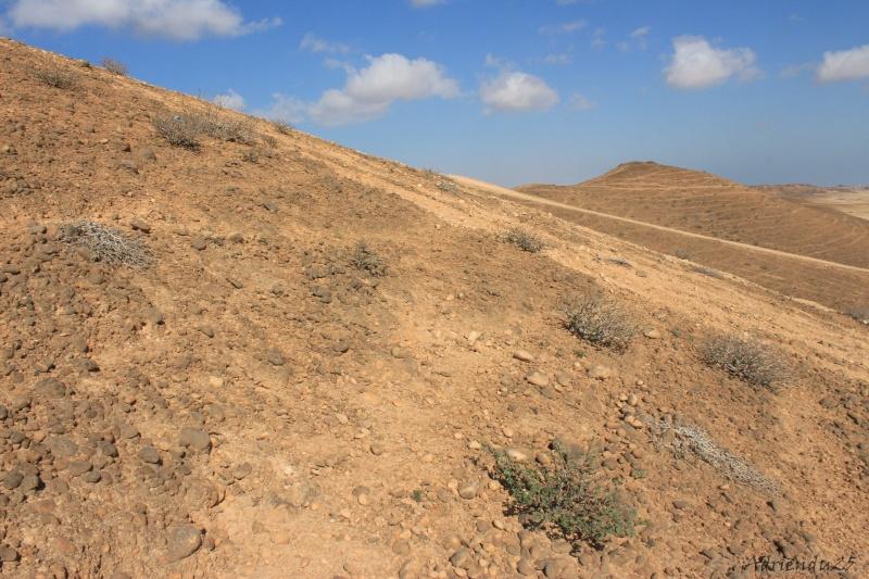 JATROPHA pelargonifolia v.sublobata  -  OMAN (Dhofar) Img_1118