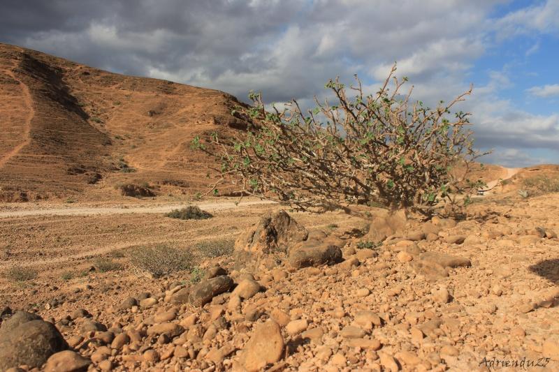 JATROPHA pelargonifolia v.sublobata  -  OMAN (Dhofar) Img_2613