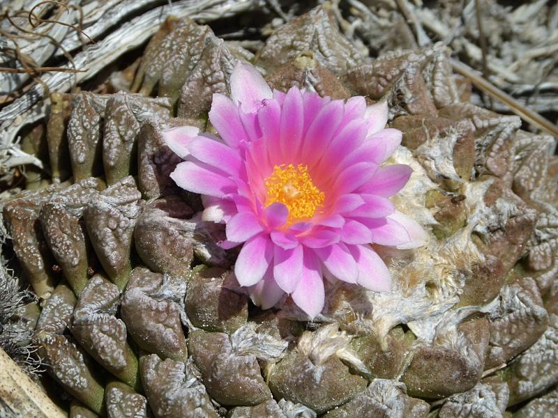 Ariocarpus fissuratus var. fissuratus P1050610