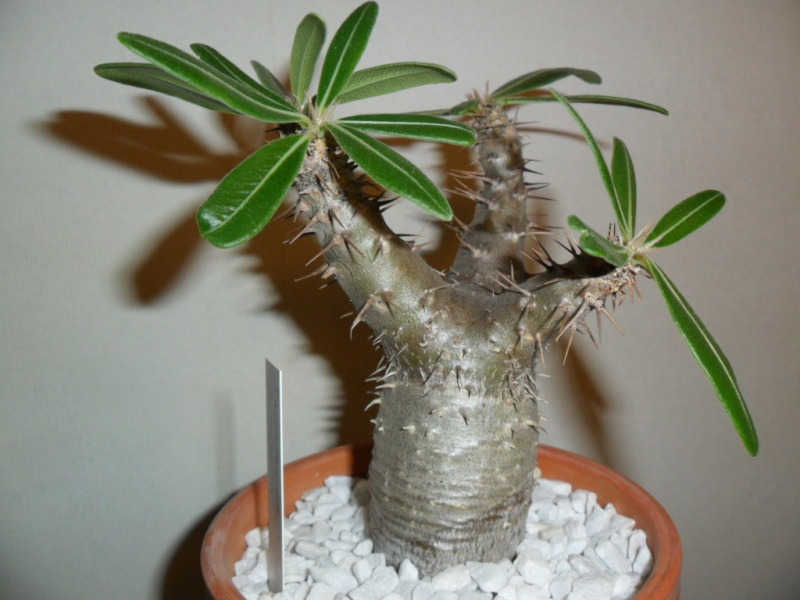 Pachypodium rosulatum Sam_6310