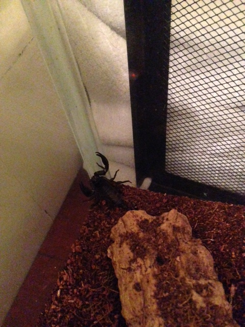 HELP! young scorpions not eating/appearing weak Image210