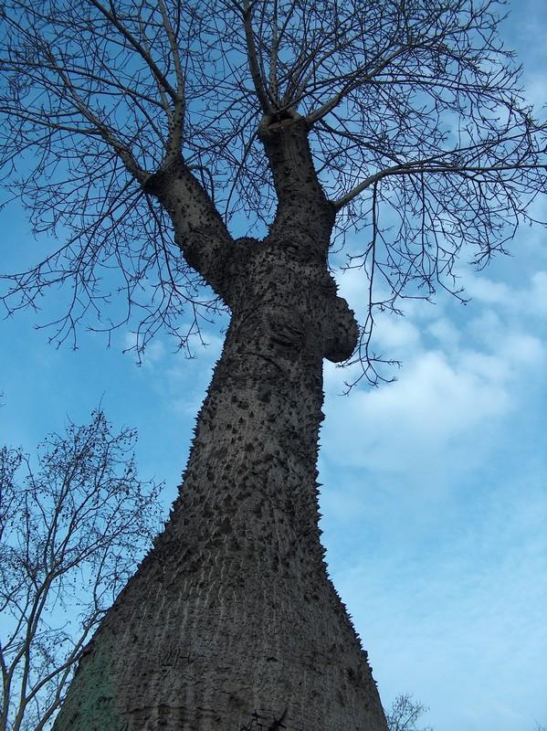Le beau tronc de mon Chorisia speciosa  Hpim1110